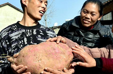 18斤重红薯王 吃红薯的好处 吃红薯有哪些好处
