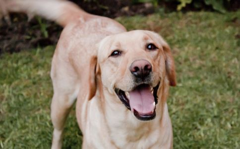 宠物狗狗如何保护牙齿 宠物狗狗牙齿如何保健 宠物狗狗牙齿保健有什么方法