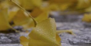 银杏叶提取物有九大药用价值
