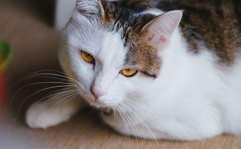 如何养猫 养猫有什么方法 养猫要注意什么