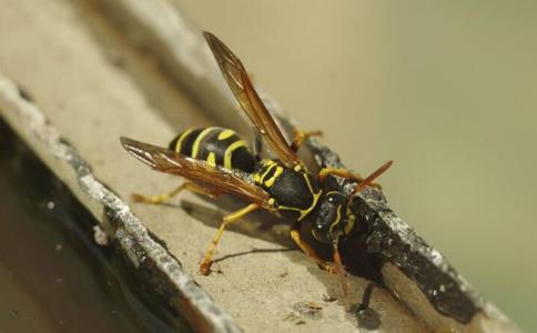 被蜜蜂蛰了图片_被蜜蜂蛰了怎么处理