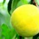 黄桃可以减肥吗 黄桃的热量