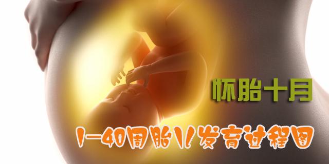 胎儿发育过程图 胎儿每周发育过程图 怀孕胎儿发育过程图 胎儿十月发育过程图