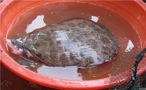 老农捕16斤野生甲鱼 野生甲鱼的营养价值 甲鱼有的营养价值