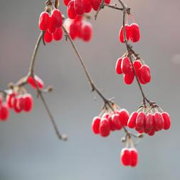 重阳习俗佩茱萸 重阳节插茱萸 茱萸图片