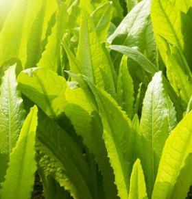 莴笋叶可以减肥吗 莴笋叶的热量高吗 莴笋叶的营养价值