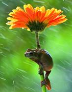 呆萌牛蛙抱着菊花躲雨 表情呆萌看起来特别可爱