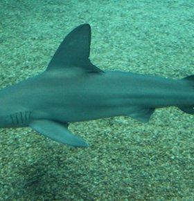 鲨鱼可以减肥吗 鲨鱼的热量高吗 鲨鱼的营养价值