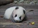 熟睡的熊猫宝宝被砸醒 此种行为实在太没品