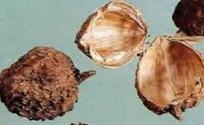 砂仁壳的功效与作用 砂仁壳的作用 砂仁壳的功效