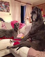 世界最大的狗长啥样 后腿站立时高2.3米