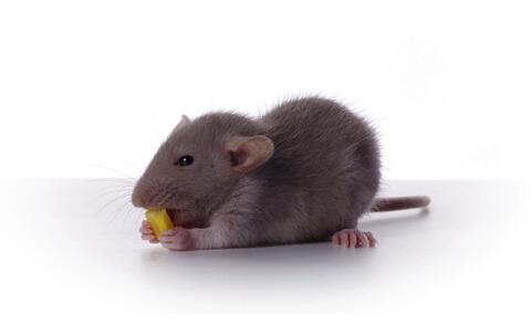 女儿遭老鼠咬死 老鼠传染哪些疾病 老鼠易传染的疾病有哪些