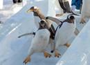 极地馆的企鹅室外训练 滑冰玩雪的样子甚是可爱