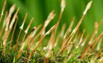 细草的功效与作用 细草是什么 细草的功效