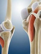 膝盖3D结构解剖图揭秘