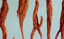 红大戟的功效与作用 红大戟是什么 红大戟的功效
