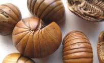 滚山虫的功效与作用 滚山虫是什么 滚山虫的功效