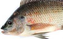 鲫鱼的功效与作用 鲫鱼是什么 鲫鱼的功效