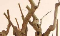 胡颓子根的功效与作用 胡颓子根是什么 胡颓子根的功效
