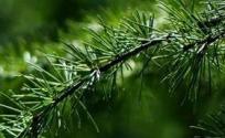 松叶的功效与作用 松叶是什么 松叶的功效