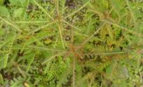 九仙草的功效与作用 九仙草是什么 九仙草的功效