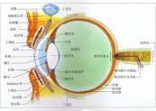 正常人的眼球结构是怎样的 眼球结构 眼球结构图