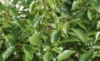 樟木的功效与作用 樟木是什么 樟木的功效