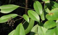 枫荷梨的功效与作用 枫荷梨是什么 枫荷梨的功效