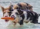 海滩猪抢食的神奇画面