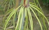 高粱根的功效与作用 高粱根是什么 高粱根的功效