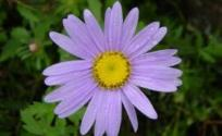 紫菀的功效与作用 紫菀是什么 紫菀的功效