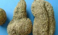 金果榄的功效与作用 金果榄是什么 金果榄的功效