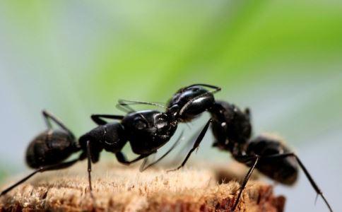 货船发现剧毒物种 火蚁的危害 被火蚁咬了会怎么样