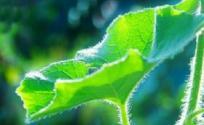 冬瓜叶的功效与作用 冬瓜叶是什么 冬瓜叶的功效