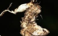 米面蓊根的功效与作用 米面蓊根是什么 米面蓊根的功效