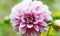 大理菊的功效与作用 大理菊是什么 大理菊的功效