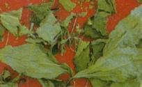 铁苋菜的功效与作用 铁苋菜是什么 铁苋菜的功效