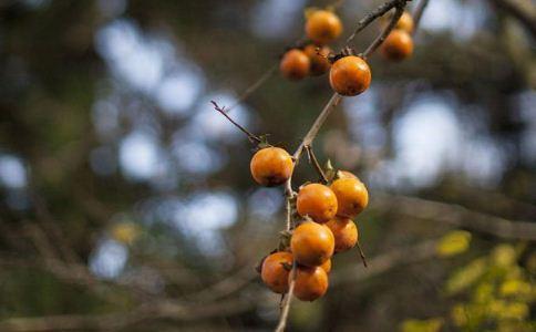 野柿子泡酒的功效 野柿子的功效与作用 野柿子泡酒喝