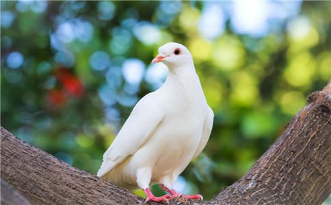 鸽子蛋有什么营养功效 吃鸽子蛋有什么好处 宝宝怎么吃鸽子蛋