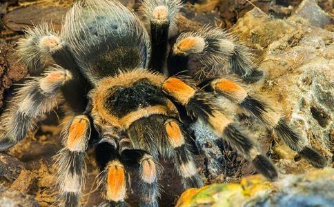 被蜘蛛叮咬昏迷不醒 剧毒蜘蛛 蜘蛛咬伤怎么办