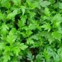 菊花脑的营养价值 菊花脑的功效与作用 菊花脑的功效
