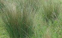 龙须草的功效与作用 龙须草是什么 龙须草的功效