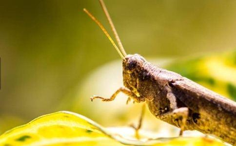 蝗虫成点餐新宠 蝗虫有什么营养 吃蝗虫的好处有哪些