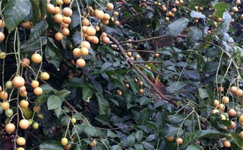 黄皮有什么功效与作用 黄皮果的吃法 吃黄皮果注意事项
