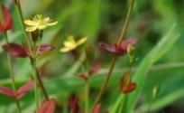 地耳草的功效与作用 地耳草是什么 地耳草的功效