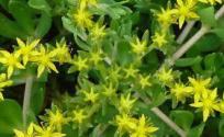 垂盆草的功效与作用 垂盆草是什么 垂盆草的功效