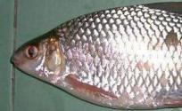 鲮鱼的功效与作用 鲮鱼是什么 鲮鱼的功效