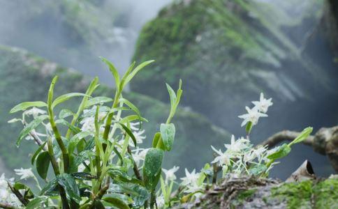 铁皮石斛花如何泡茶养胃止咳