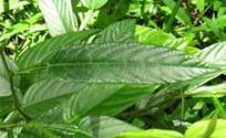 葫芦茶的功效与作用 葫芦茶是什么 葫芦茶的功效