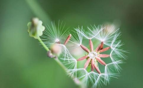 蒲公英能治疗妇科疾病吗?最好与其他草药混合。